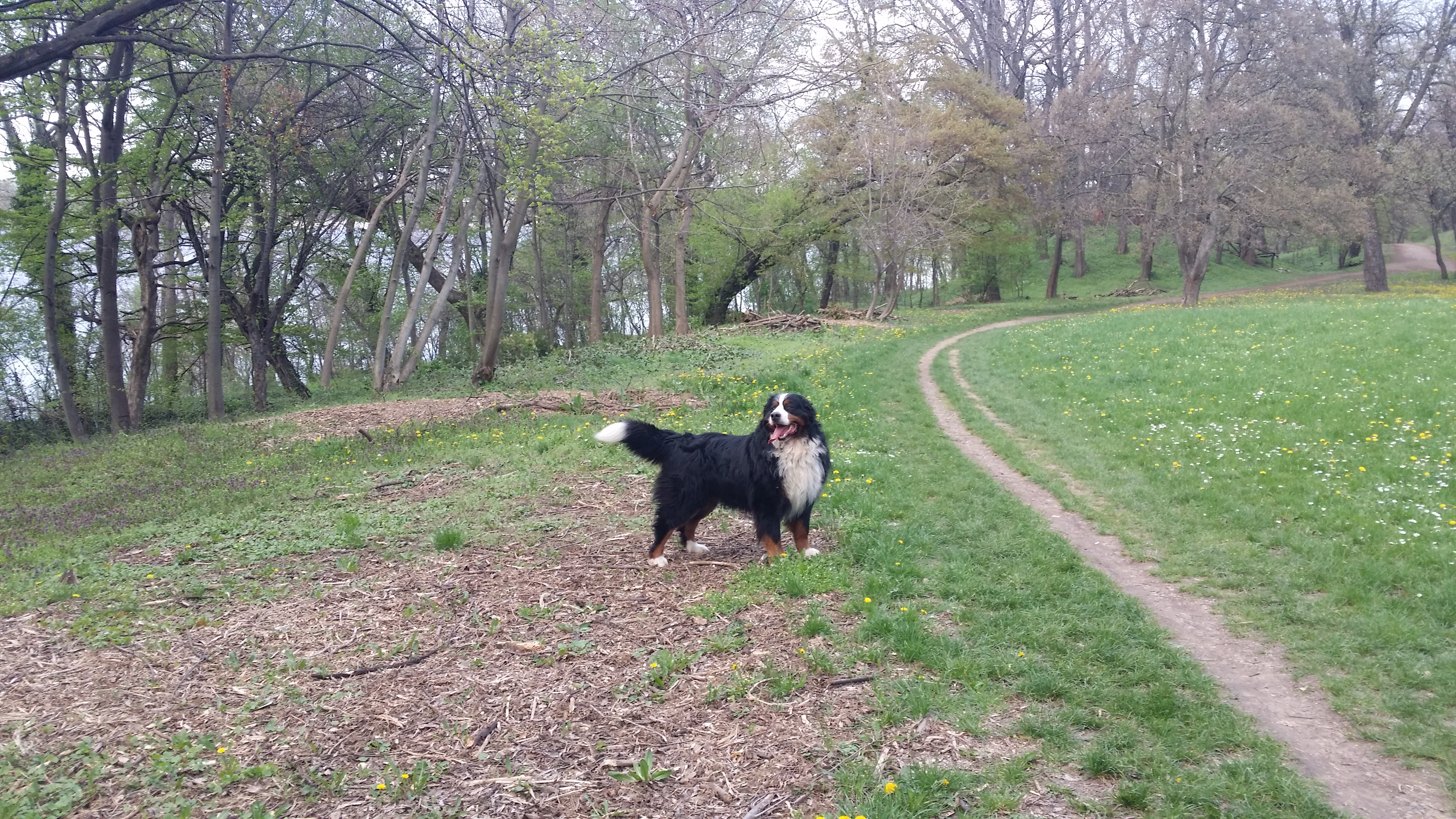 Bernski Planinski Pas – temperament i karakter