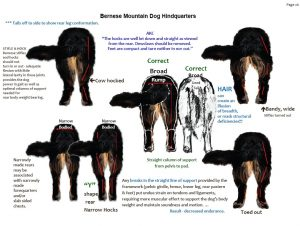 Bernski planinski pas zadnje noge